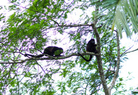Howler Monkeys, Cano Negros Wildlife Reserve, Costa Rica