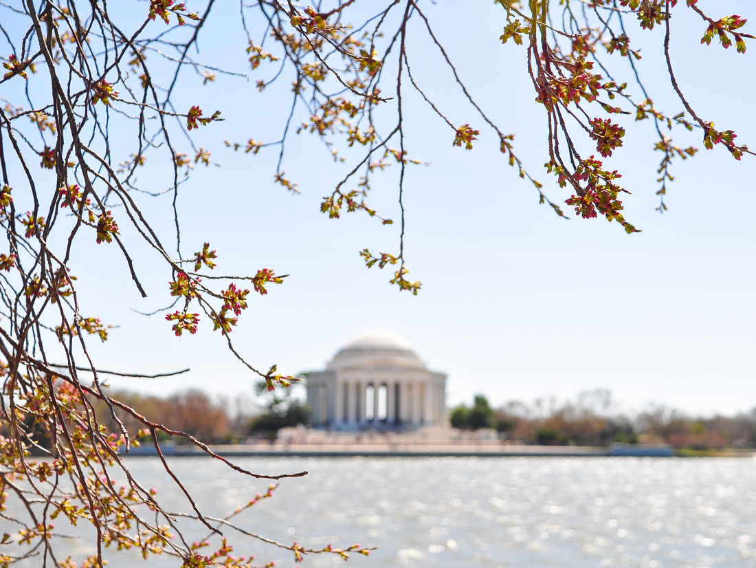On the verge of the cherry blossom bloom in Washington DC