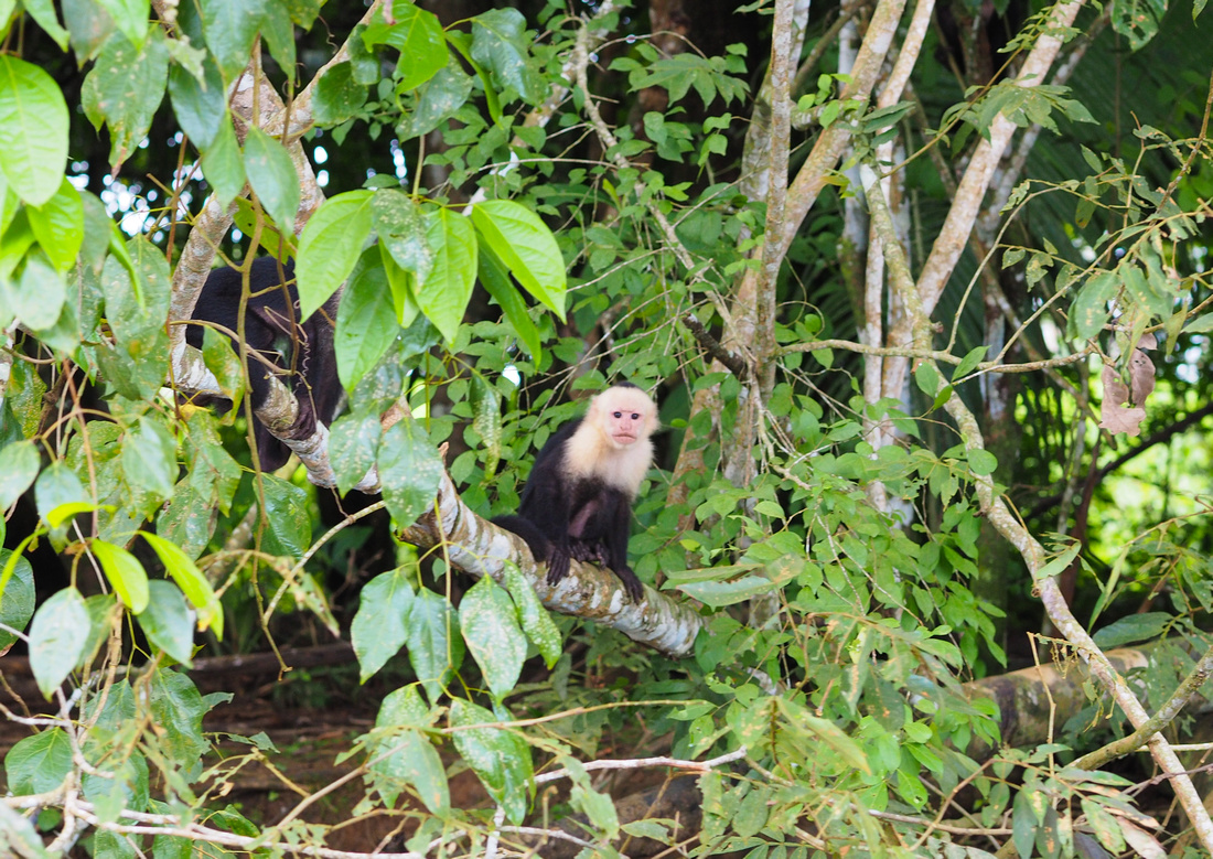 White-faced Capuchin, Cano Negros Wildlife Reserve