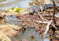 Caiman, Cano Negros Wildlife Reserve, Costa Rica