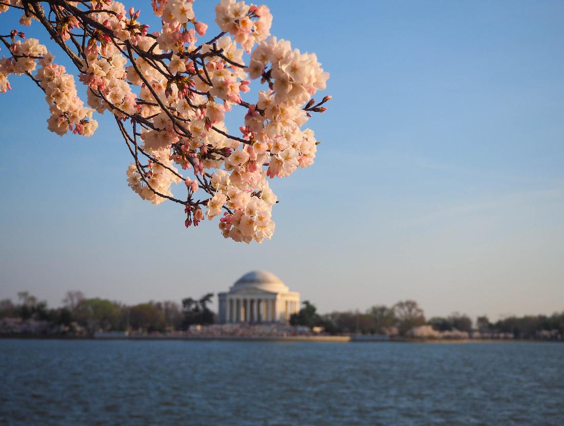 Cherry Blossom Bloom in Washinton DC